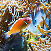Clown Fish - Anemonefish Swimming Along A Large Anemone Amphiprion Art Print