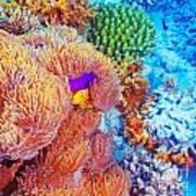 Clown Fish Swimming Near Colorful Corals Art Print