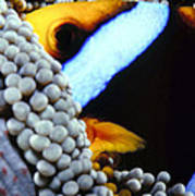 Clownfish 7 Art Print