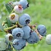 Clump Of Blueberries Art Print