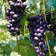 Clusters Of Red Wine Grapes Hanging On The Vine Art Print