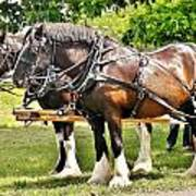 Clydesdale Horses Art Print