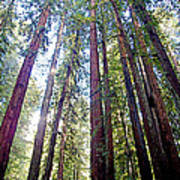 Coastal Redwoods Reach For The Sky In Armstrong Redwoods State Preserve Near Guerneville-ca Art Print