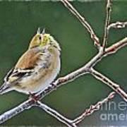 Cock-a-doodle-doo Gold Finch  Art Print