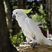 Cockatoo White Parrot Art Print