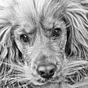 Cocker Spaniel Dog Black And White Art Print