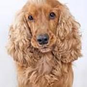 Cocker Spaniel Dog Portrait Art Print
