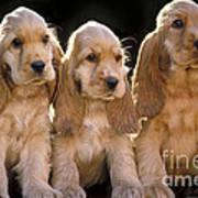 Cocker Spaniel Puppies Art Print
