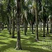 Coconuts Trees In A Row Art Print by Sami Sarkis