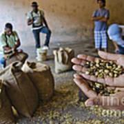 Coffee Beans Santo Domingo Art Print