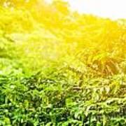 Coffee Plantation Sunny Background Art Print