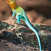 Collared Lizard Art Print