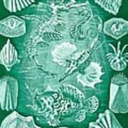Collection Of Teleostei Art Print by Ernst Haeckel