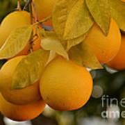 Super Bright Oranges On A Branch Art Print