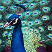 Color Me Peacock Art Print