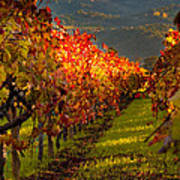 Color On The Vine Print by Bill Gallagher