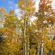 Colorado Autumn Aspens  Art Print