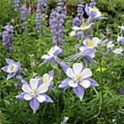 Colorado Columbines And Lupines Art Print