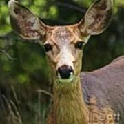 Colorado Deer Art Print