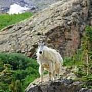 Colorado Mountain Goat Art Print