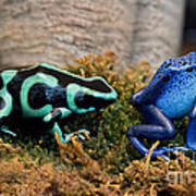 Colorful But Deadly Poison Dart Frogs Art Print