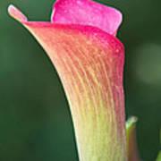 Colorful Calla Art Print