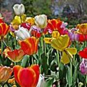 Colorful Tulips Art Print