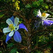 Columbine Flowers And Pine Tree Art Print