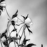 Columbines In Black And White Art Print
