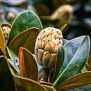 columnar Southern magnolia Art Print