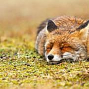 Comfortably Fox Art Print