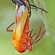 Coming Of Age - Large Milkweed Bug - Oncopeltus Fasciatus Art Print