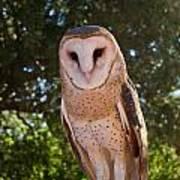 Common Barn Owl 1 Art Print