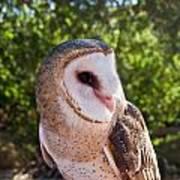 Common Barn Owl 10 Art Print