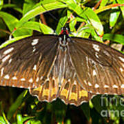 Common Birdwing Butterfly Art Print