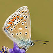 Common Blue Art Print