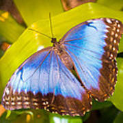 Common Blue Morpho Art Print