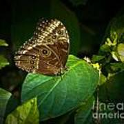 Common Blue Morpho Moth Art Print