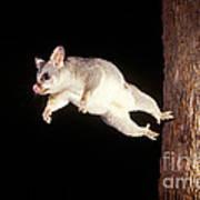 Common Brush-tailed Possum Art Print