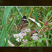 Common Buckeye Butterfly - Junonia Coenia Art Print