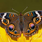 Common Buckeye Art Print