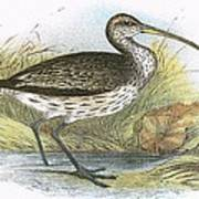 Common Curlew Art Print