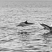 Common Dolphins Leaping. Art Print