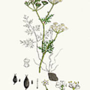 Common Earth Nut Plant Scientific Art Print