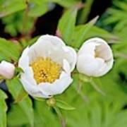 Common Garden Peony (paeonia Lactiflora) Art Print