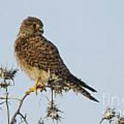 Common Kestrel Falco Tinnunculus 3 Art Print
