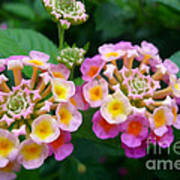 Common Lantana Flower Art Print