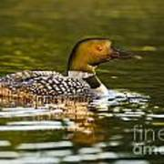 Common Loon Pictures 145 Art Print