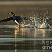 Common Loon Pictures 152 Art Print
