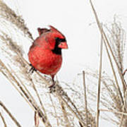 Common Northern Cardinal Square Art Print